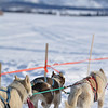 "Ashton Dog Derby 2010 : ""This historic dog sled race that runs from Ashton, Idaho to Yellowstone Park, is an exciting experience for mushers and spectators alike. There are 5 different races offered and a start/finish line full of activities including a celebrity race, a snowshoe race, and a weight pull in which spectators and their dogs can compete. ""  www.americandogderby.org"